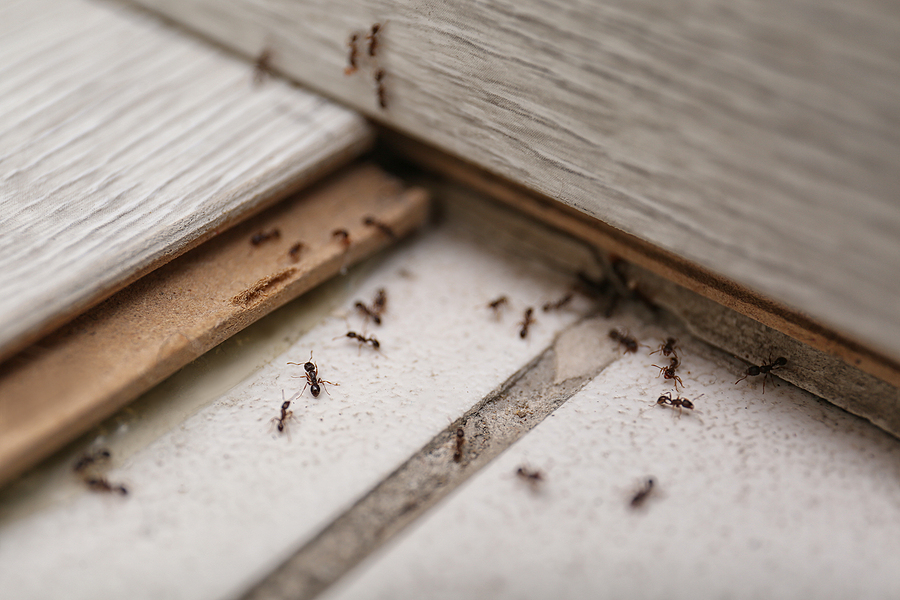 Black ants on the floor of a home.